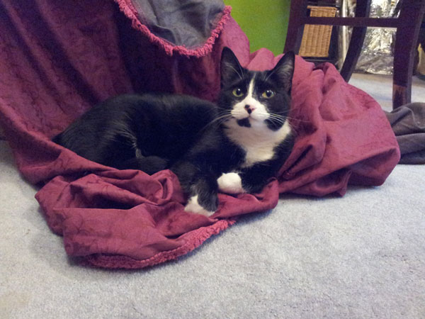 my cat Mocee laying on my brocade costume fabric