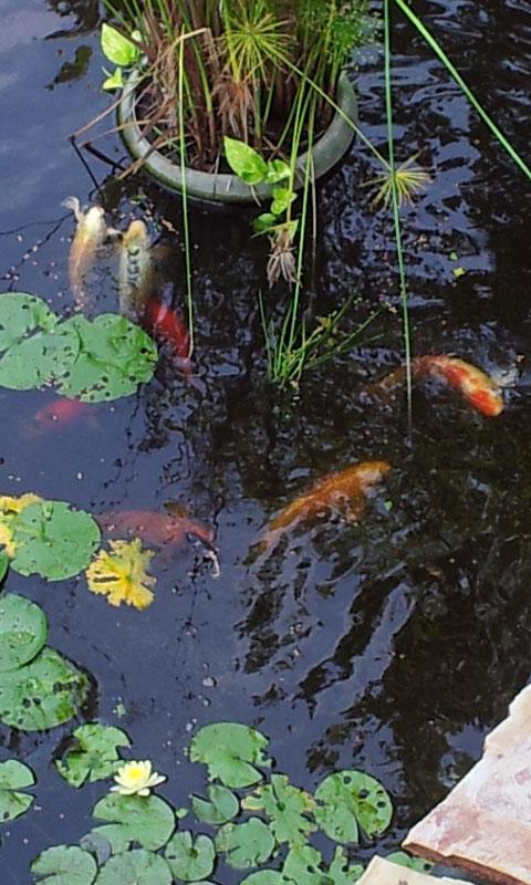 koi fish happily eating