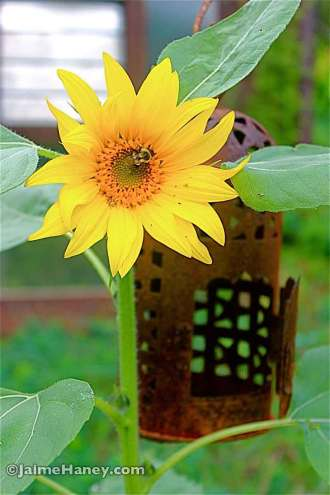 volunteer sunflower under the birdfeeder