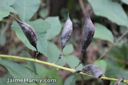 seed pods from Baptisia or False Indigo