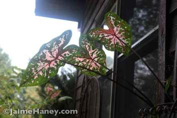 Caladiums reaching for any light
