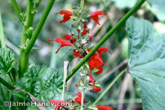 spider on red salvia
