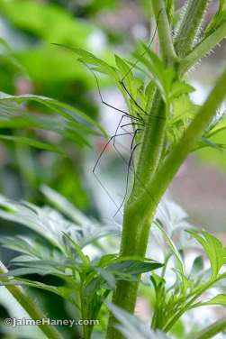 long legs of spider crawling on flower stalk