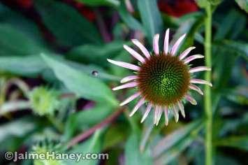 coneflower just blooming