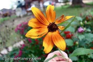 Sunflower 'autumn beauty'