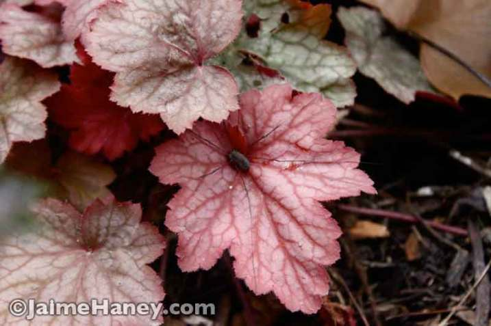 spider hiding in coral bells