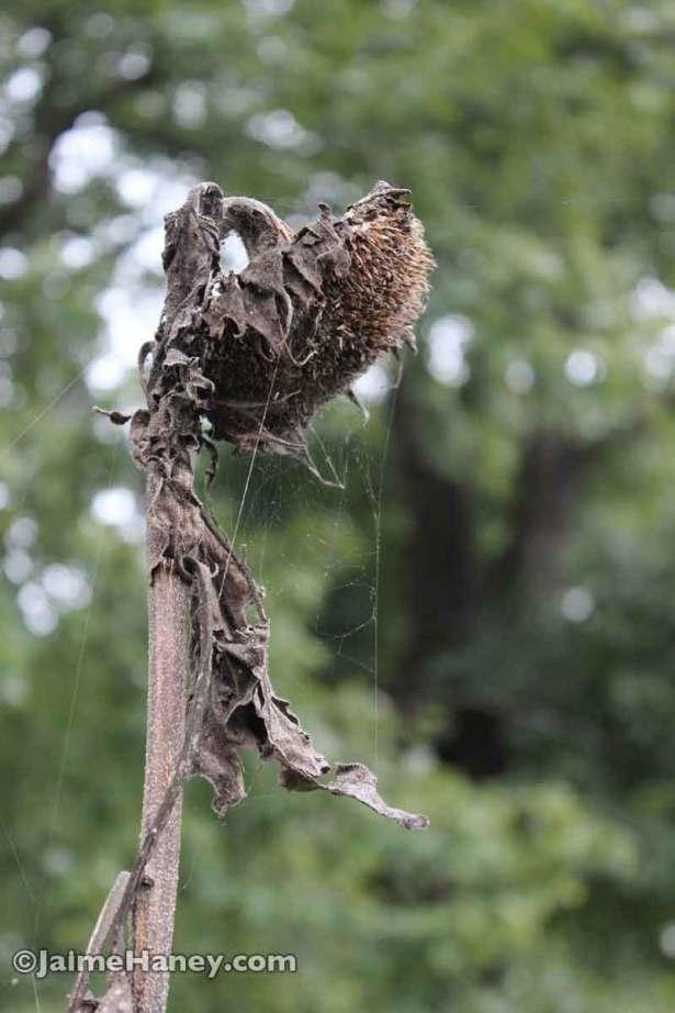 dead sunflower with spider webs