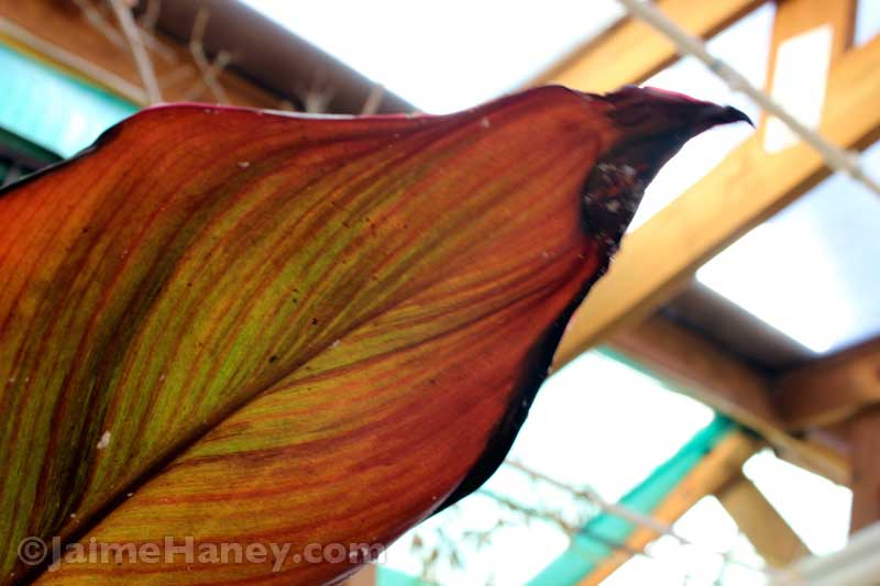 red and green striped leaf of a canna