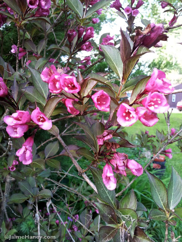 Weigela - Wine and Roses