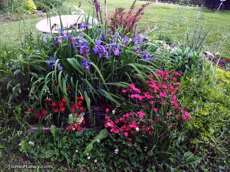 siberian iris, pinks, obedient flowers