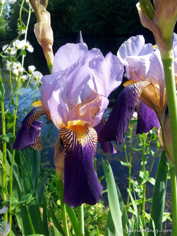 two toned purple iris