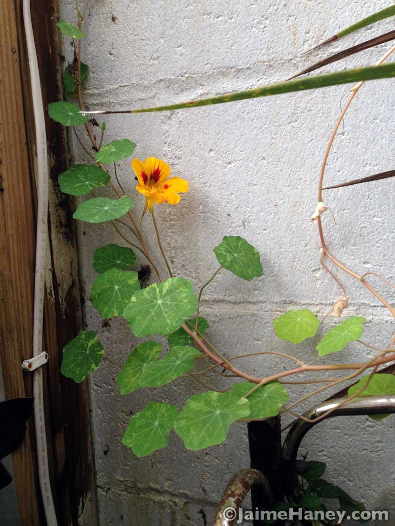 a yellow nasturtium vine crawling up my greenhouse cinder block wall