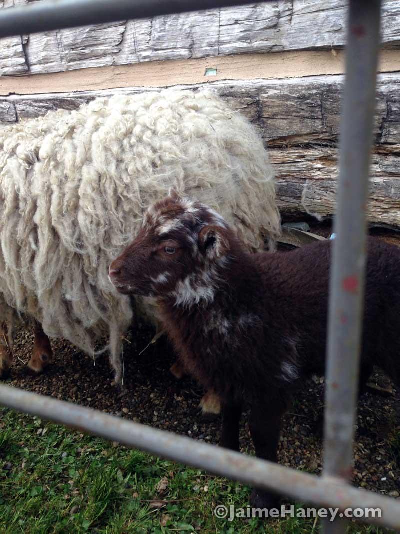 Baby lamb at the Heritage Artisans Days in New Harmony Indiana 2016