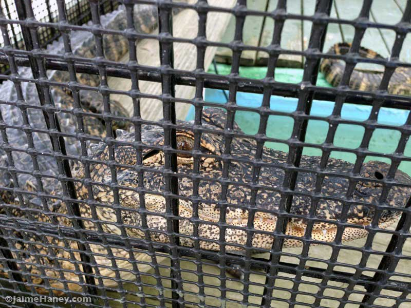 young alligator in cage