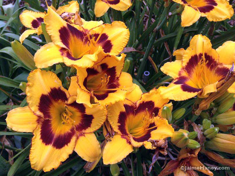 golden yellow with burgundy ring daylily blooms