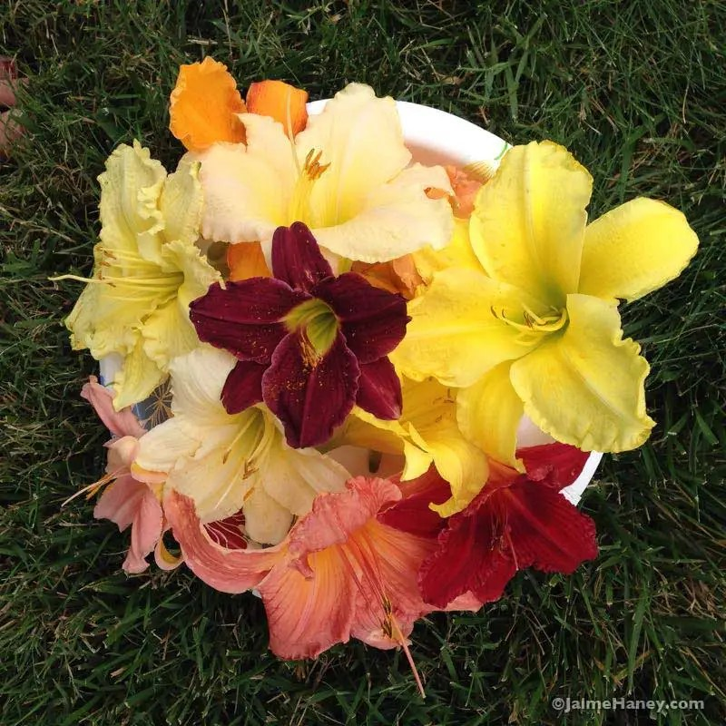 plate of daylily blooms