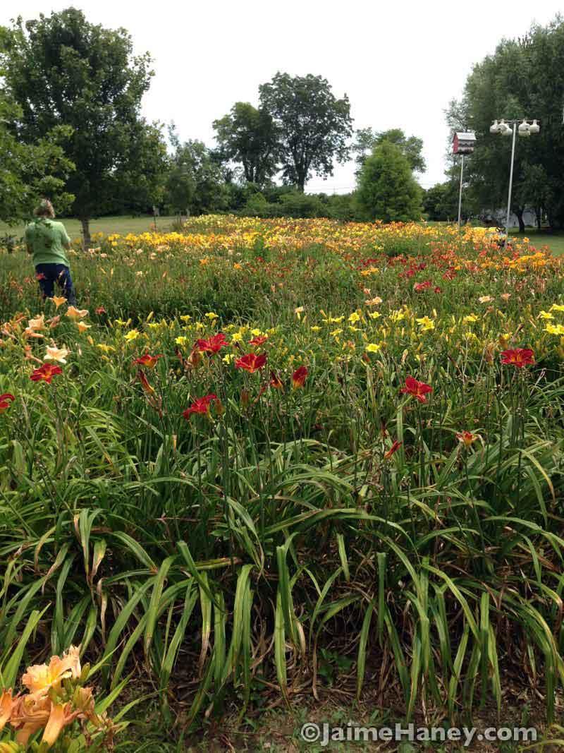 Seibert Lane Daylilies daylily farm