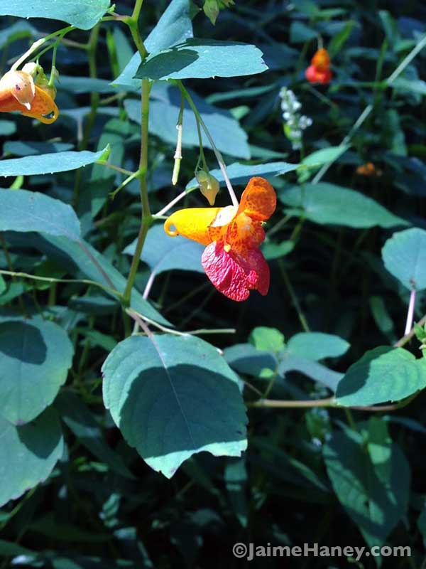 close up of jewelweed
