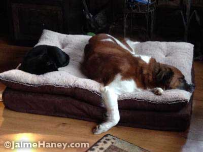 cat and dog sharing bed