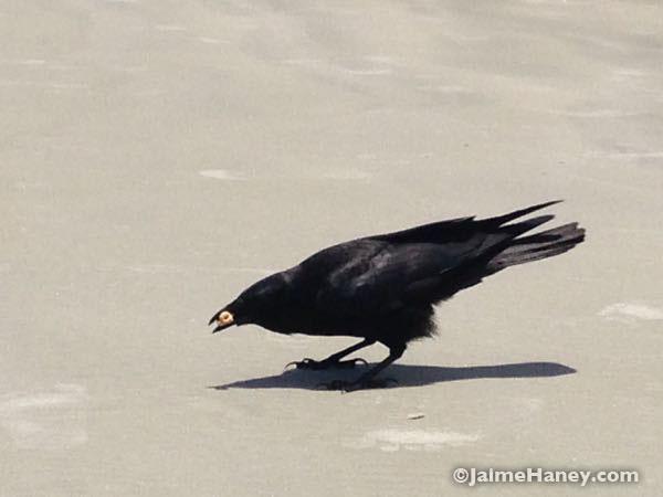 beach crow