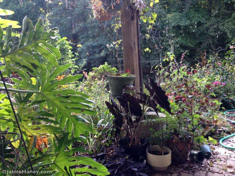 Studio Gardens in early fall. Large philodendron.
