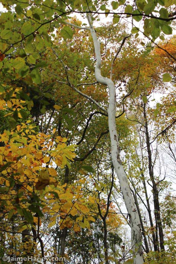 sycamore tree surrounding with fall leaves