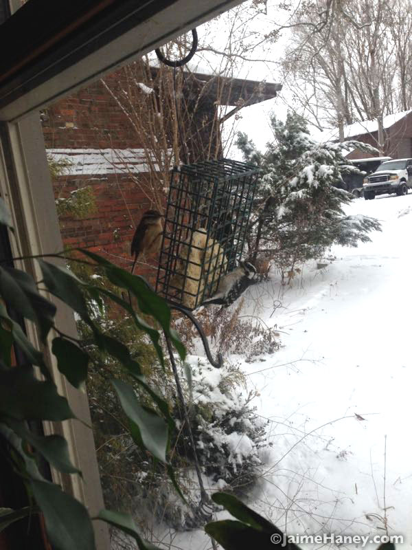 Carolina wren and the downy woodpecker on suet feeder