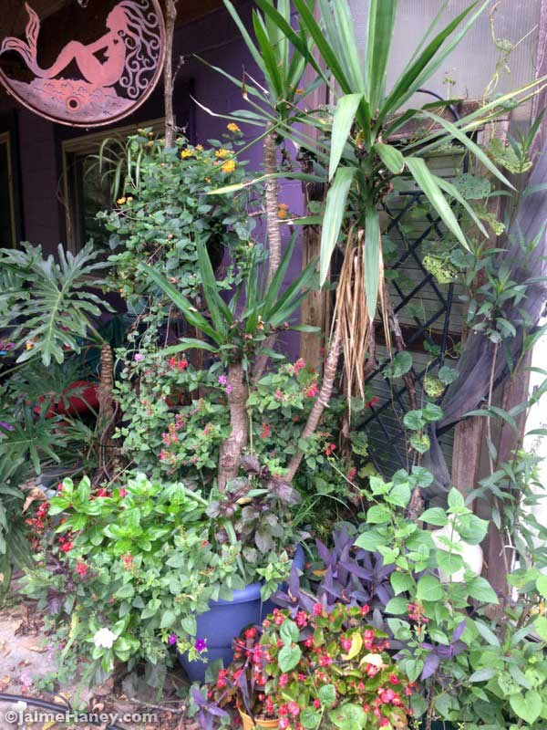 A grouping of a variety of plants at the entranc of my greenhouse