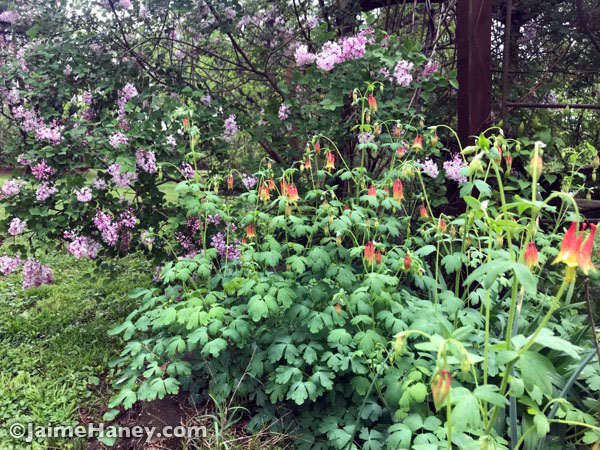 Jose Re-blooming lilac and red columbine