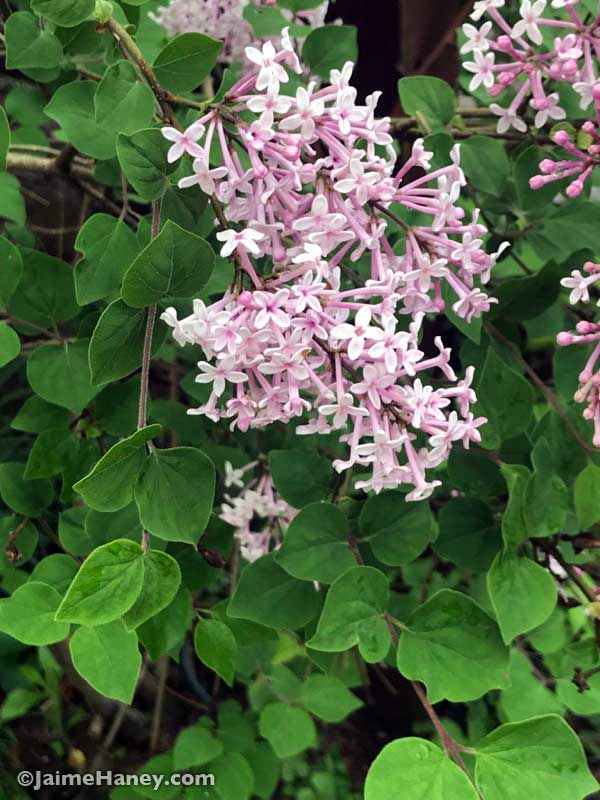 Jose Re-blooming lilac