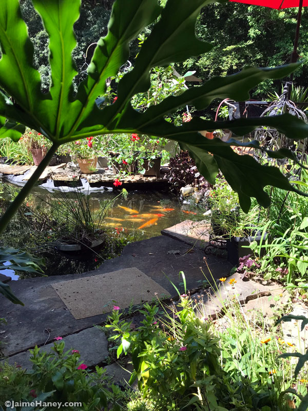 Looking-through-Philodendron-leaf-at-koi-fish