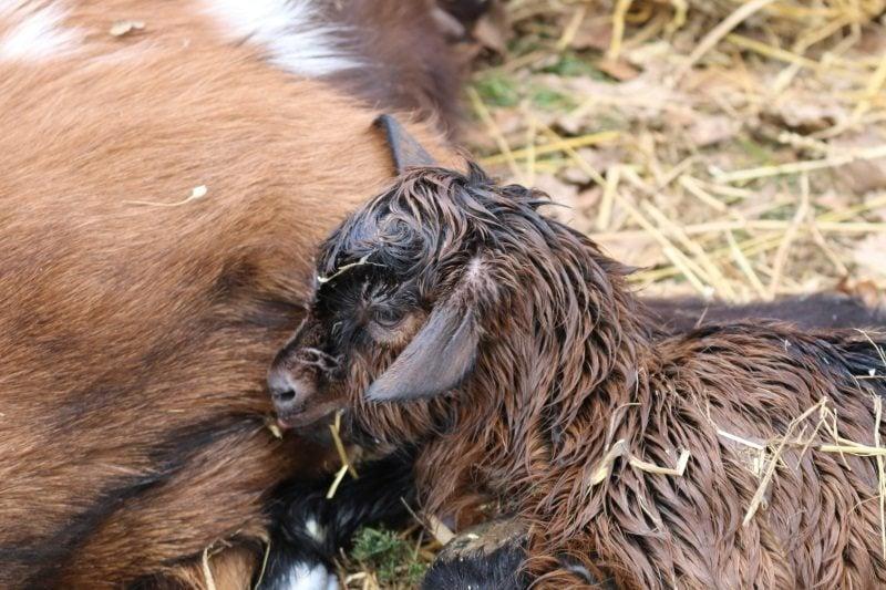la chèvrerie de l'Ibie