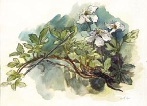 blackberryblossoms_watercolor