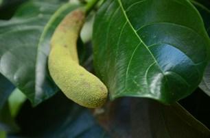 L'île de Camiguin - Philippines - Petit Jack fruit