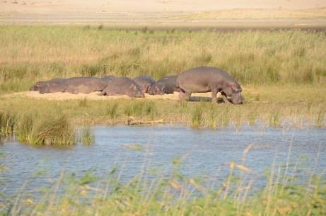 hippopotames à Santa Lucia - Afrique du Sud - tour du monde - jaiuneouverture