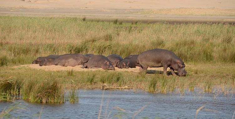 Des hippopotames en ville - Santa Lucia (2)
