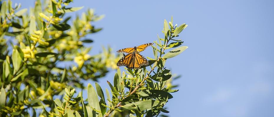 Monarques à Monterey