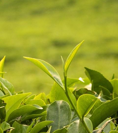 Tea_Bud_680