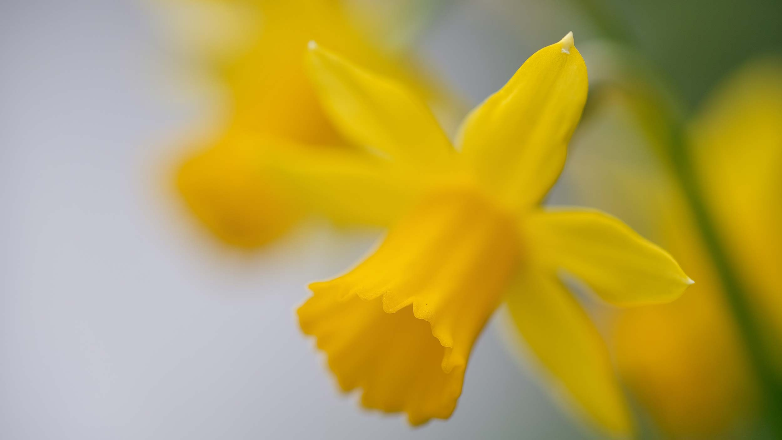 Yellow daffodil photo by Wolfgang Hasselmann on Unsplash