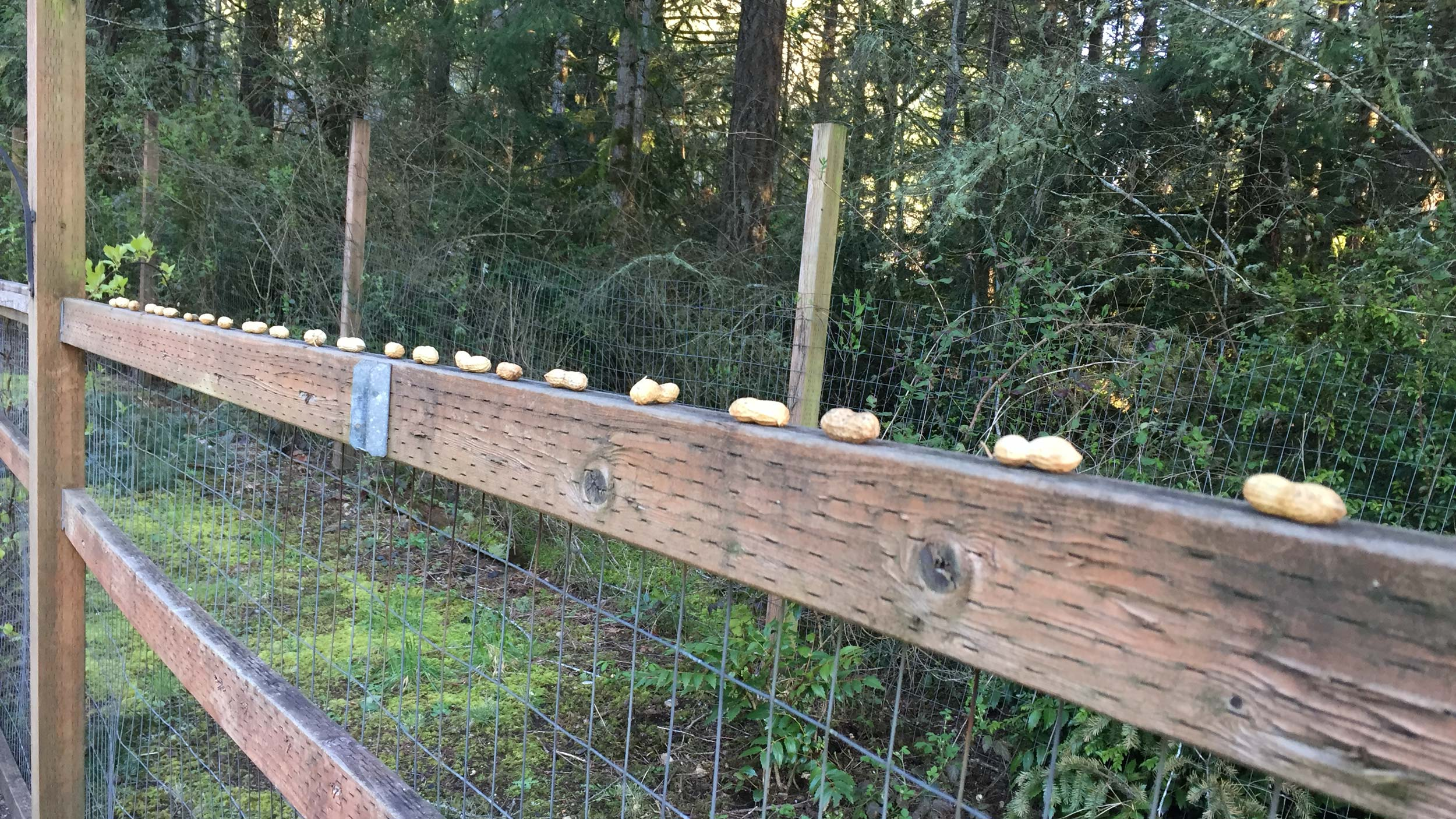 Peanuts on the fence