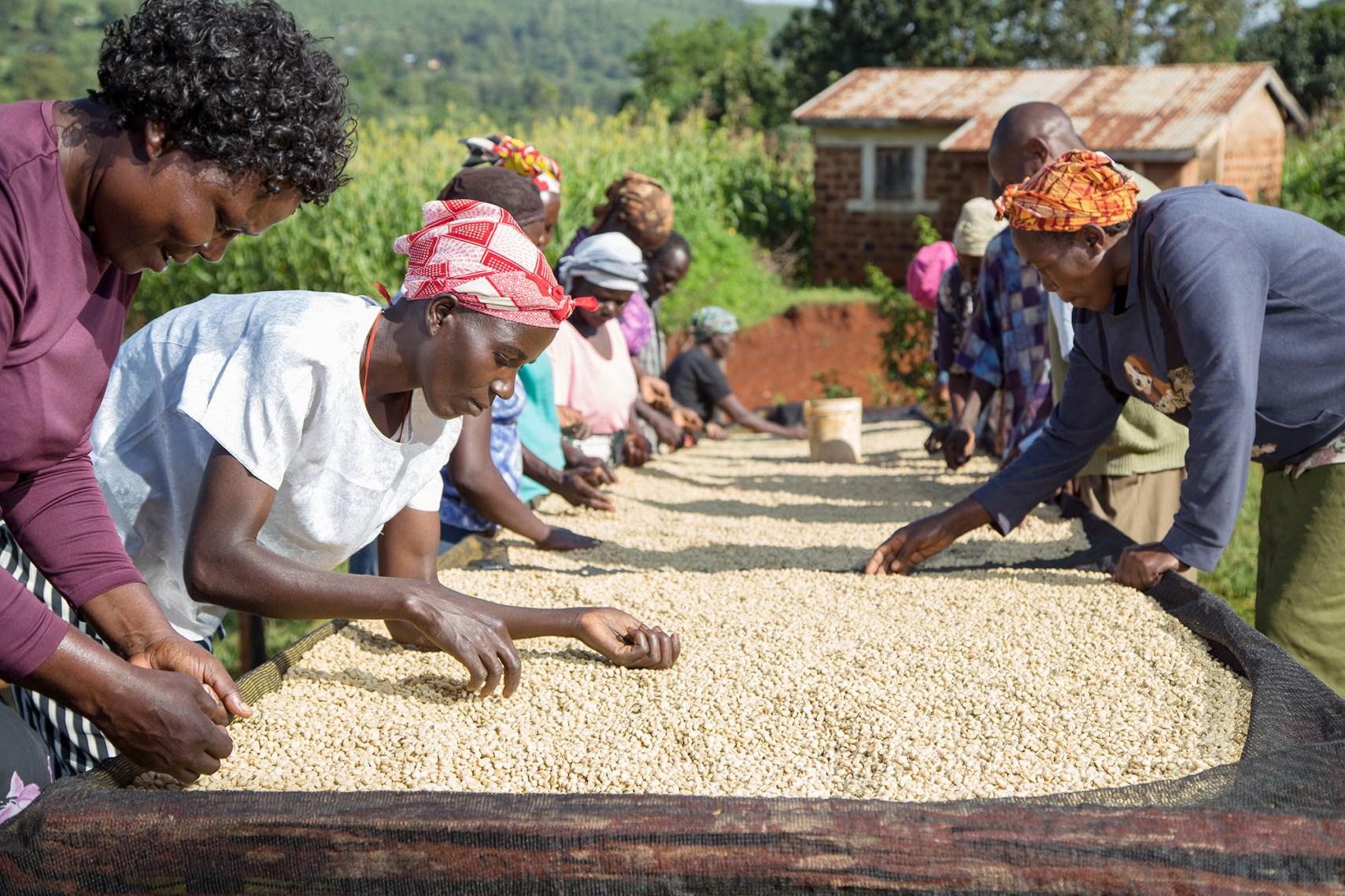 Cooperative members quality-sort coffee in Rachuonyo South, Kenya.