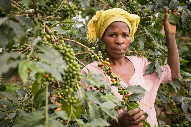 A woman harvests coffee in Kasese District, Uganda, East Africa.