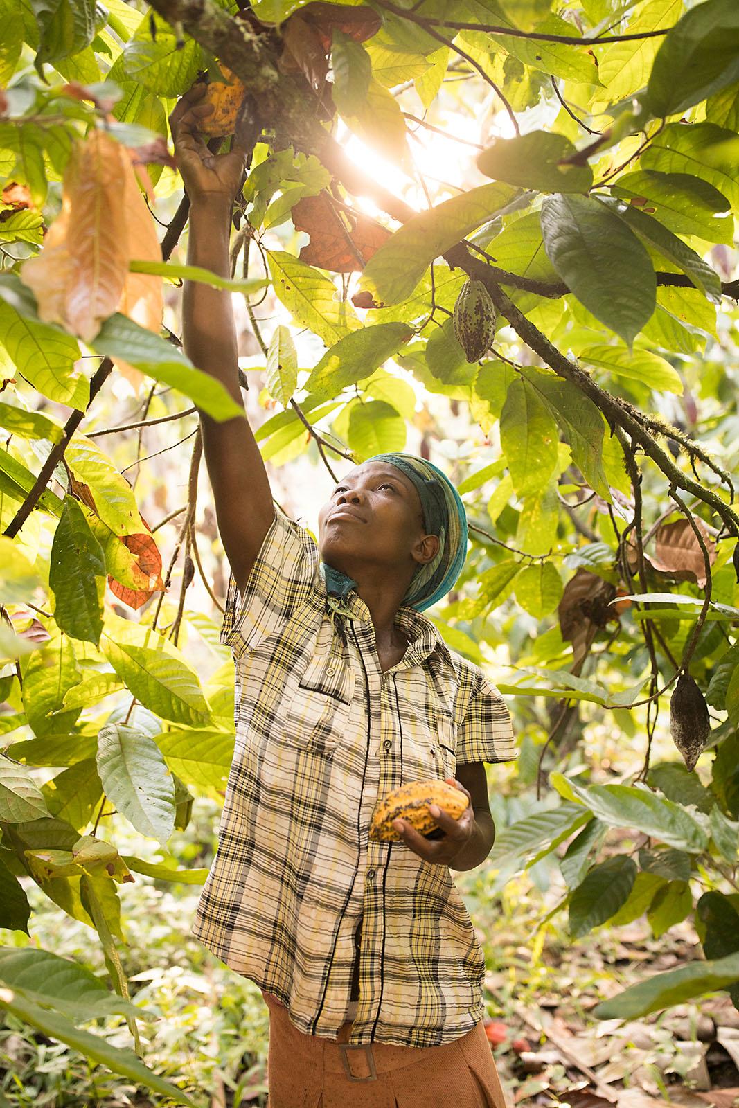 A woman picks cocoa bean pods in Mukono District, Uganda.