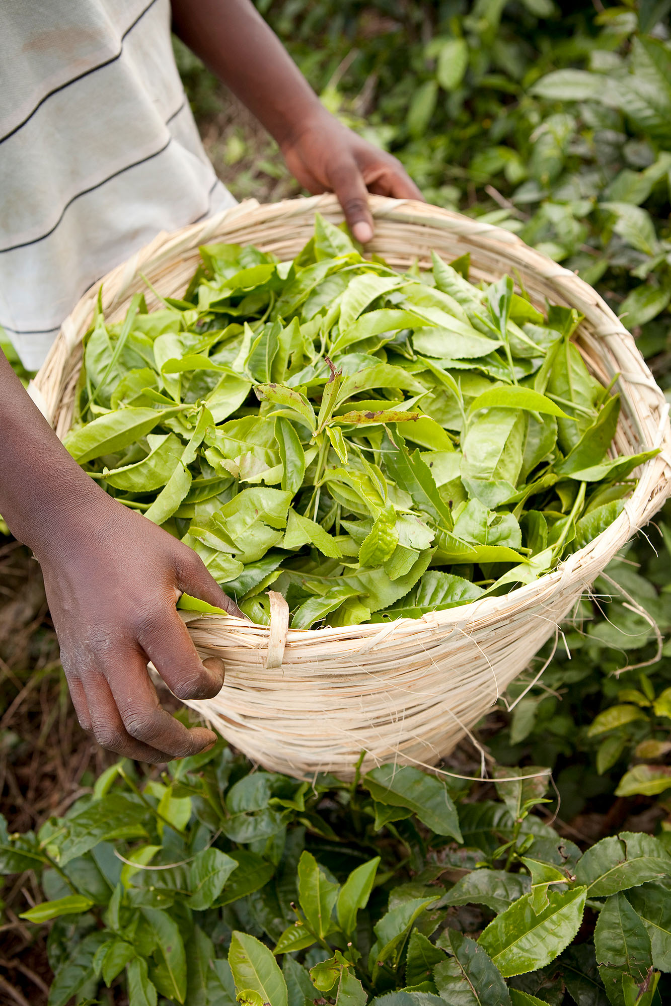 A worker holds a basket of freshly picked tea in the fields of Fort Portal, Uganda.