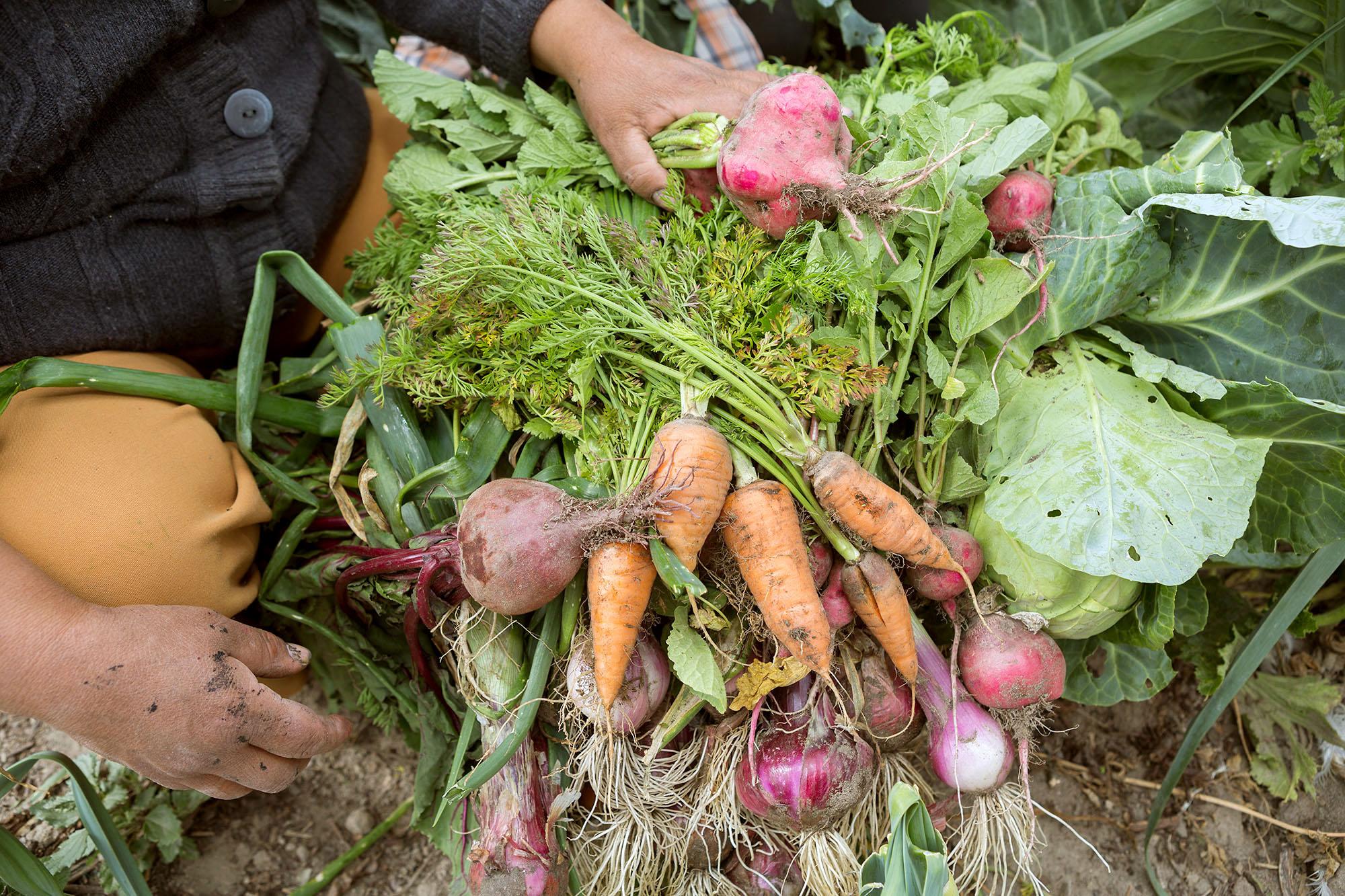 Vegetable harvest in San Antonio de Pichincha, Ecuador.