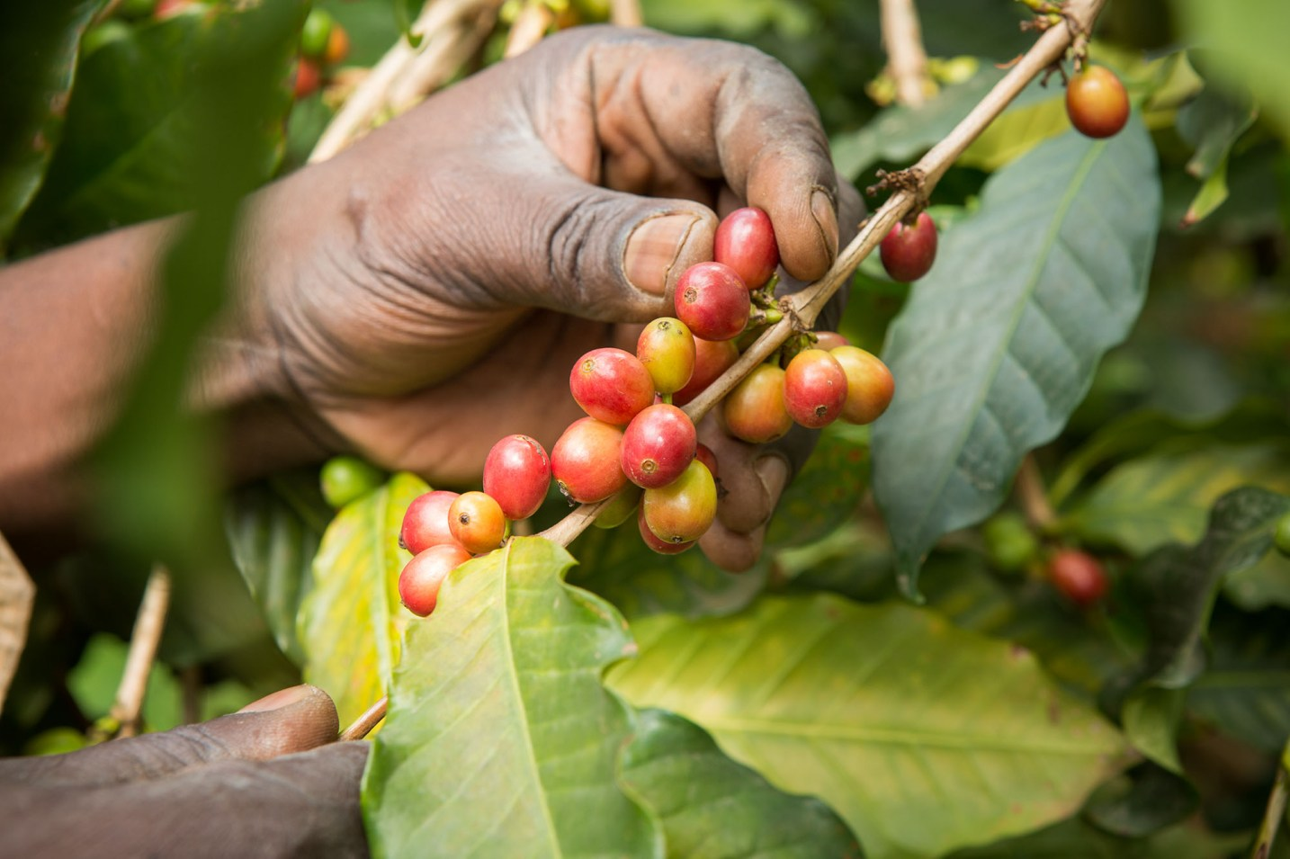 Coffee cultivation is the main source of livelihood in Bududa District, on the fertile foothills of Uganda's Mount Elgon.