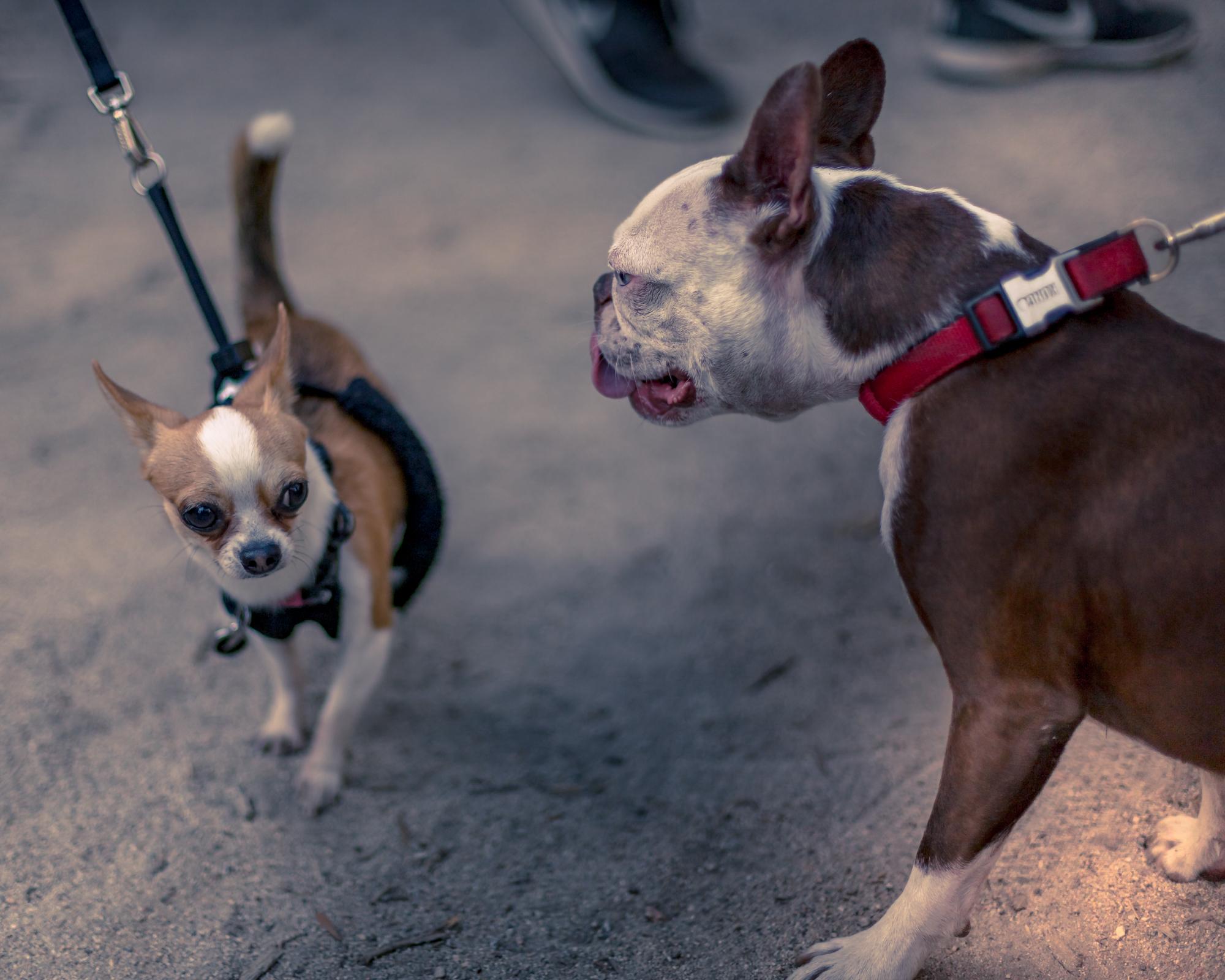 Dogs at Street Meet L.A. Pasadena Bridge Meet - © Jake Ross - 7/22/2018