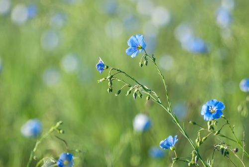 flowers blue flax 2