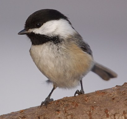 bird, bird migration
