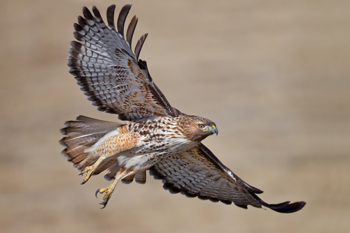 One tip to identify birds easier for kids jake 39 s nature blog - Red tailed hawk wallpaper ...